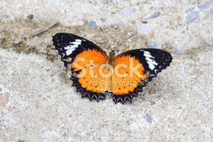 stock-photo-43055612-monarch-butterfly-with-open-wings1